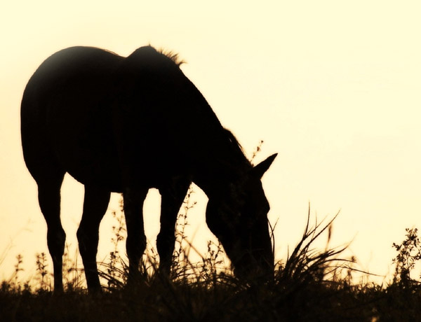 Horse-field-grass-silhouette-food